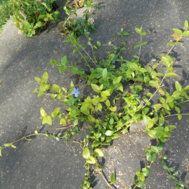 bio-onkruidmat voor meerjarige planten