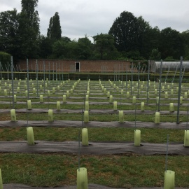 Biobased and compostable weed control mat BIOCOVERS® used in vineyard