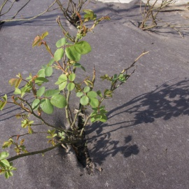 Biobased weed control mat for rose gardens
