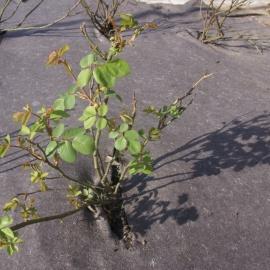 Biocovers Bioweedstop 100% biobased weed control mat