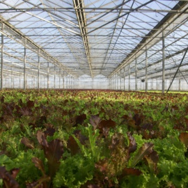 Biobased and biodegradable support for the hydroponic cultivation of microgreens, baby leaf or micro leaf salad