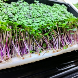 Biobased and biodegradable support for the hydroponic cultivation of microgreens and cresses